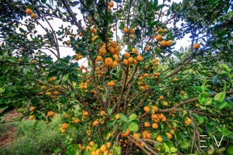 fruits-ducos-martinique