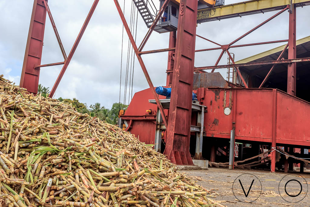 Canne à sucre pour la production de Rhum Martinique La Mauny