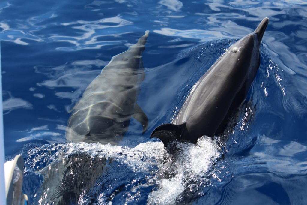 Excursion dauphins en Guadeloupe