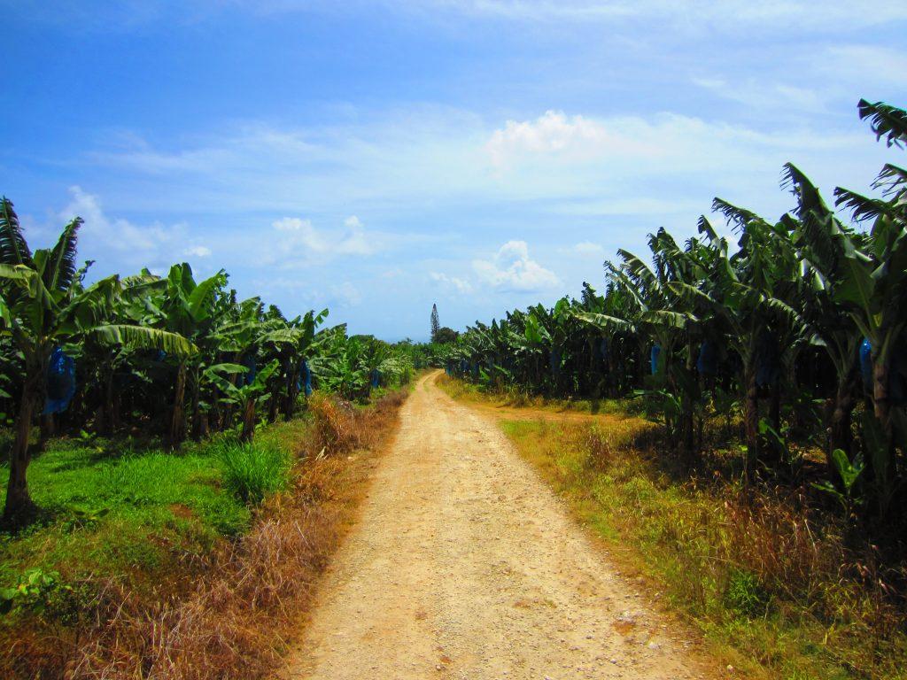plantation-bananes-guadeloupe
