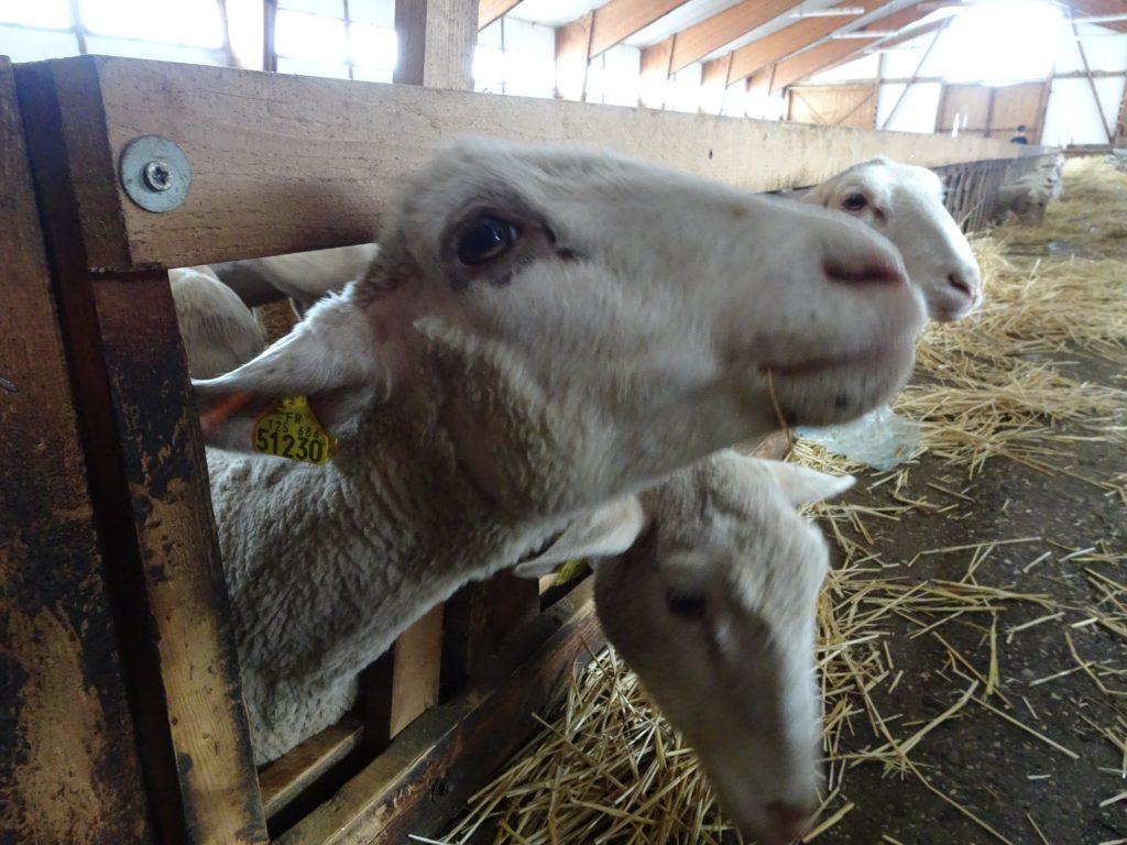 agneau-superdevoluy